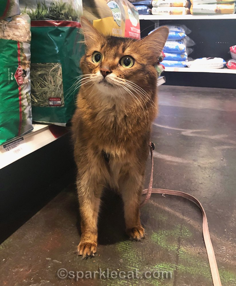 somali cat confused because she isn't in the cat aisle