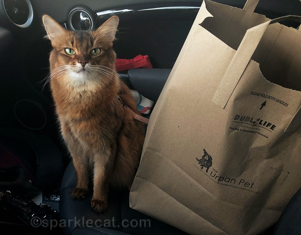 somali cat after shopping trip