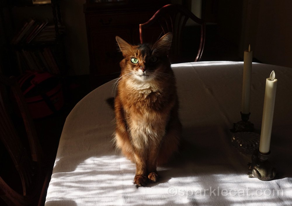 somali cat sitting in lace curtain shadows on dining room table