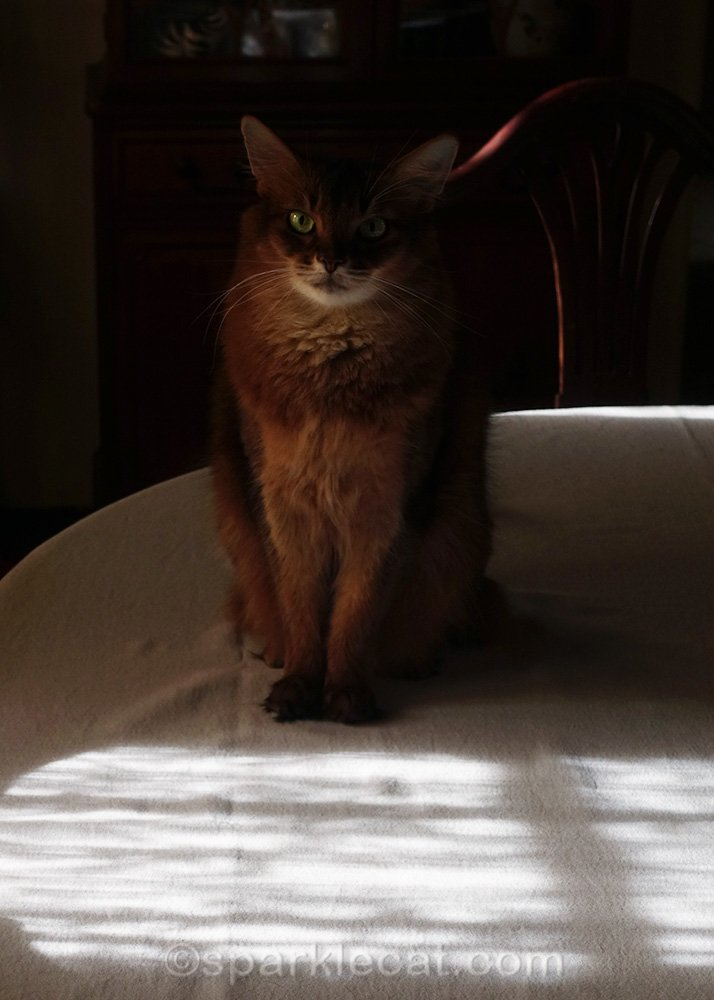 somali cat sitting in the shadows on the dining room table