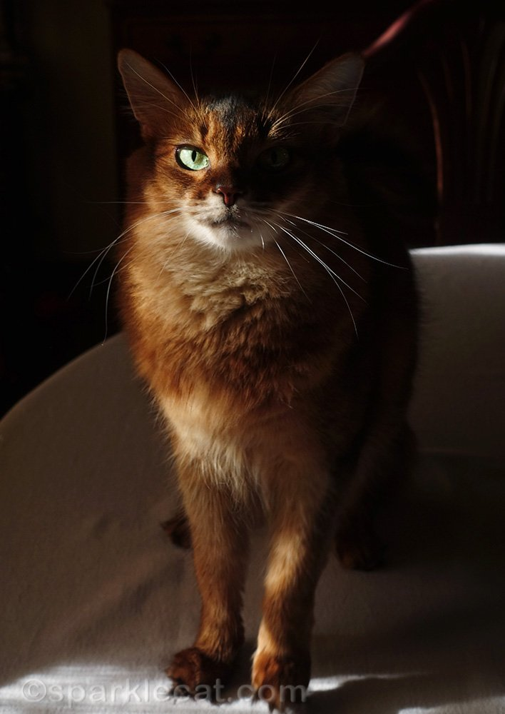 somali cat on dining table with her ears in the shadows