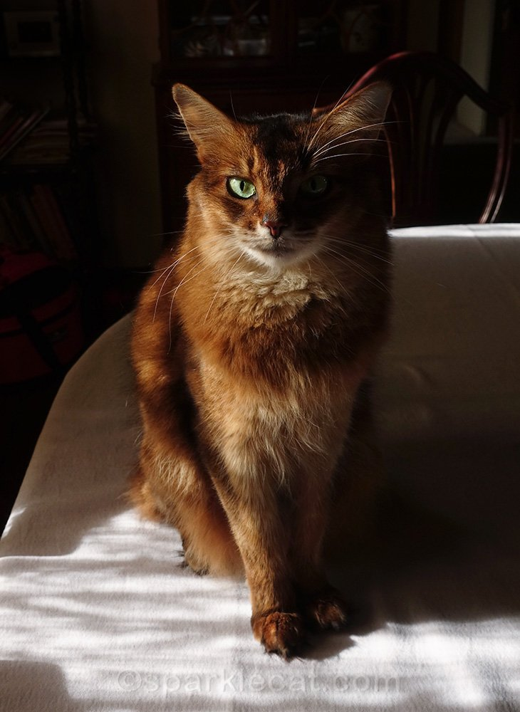 somali cat on dining table, looking serious