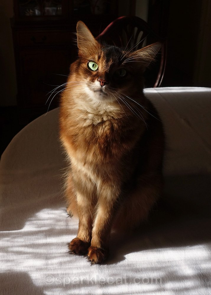 somali cat sitting on dining table, looking sweet