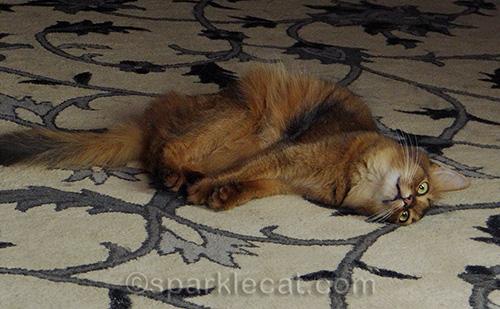 somali cat rolling around on rug