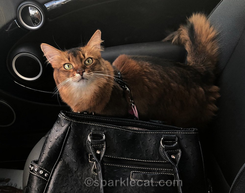 somali cat on a last minute shopping trip to the pet store