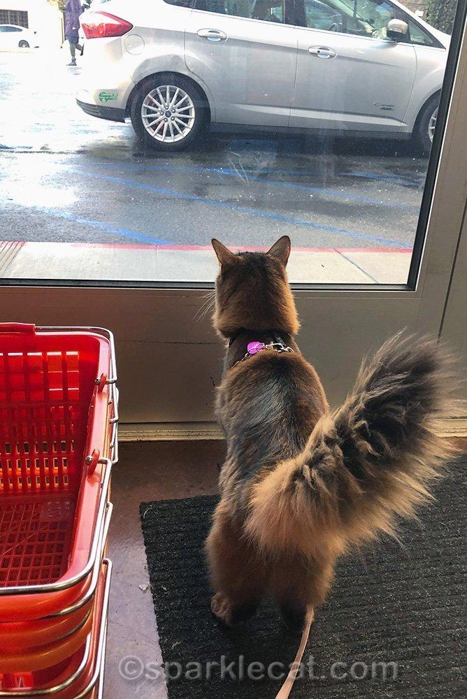 somali cat looking out pet store door