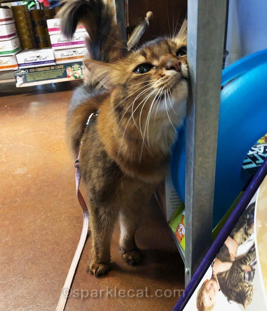 somali cat face marking pet store display