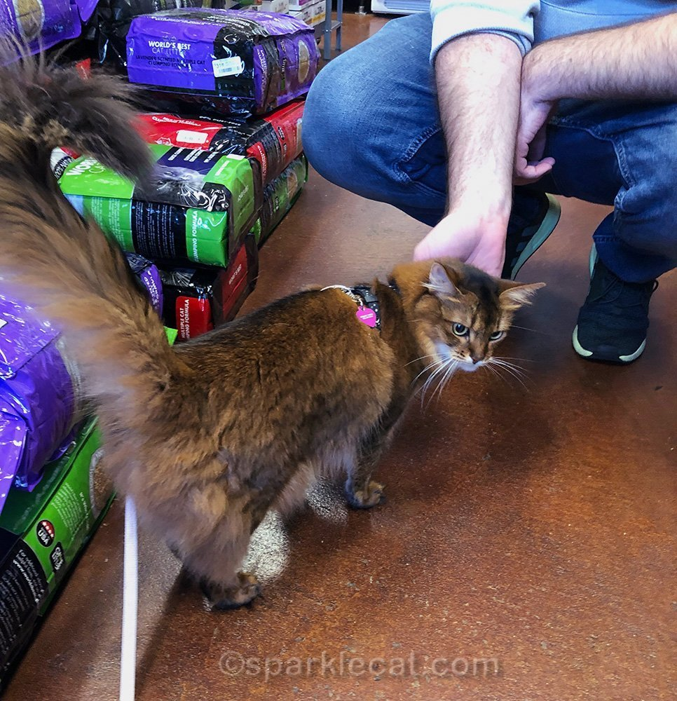 friendly somali cat with pet store customer