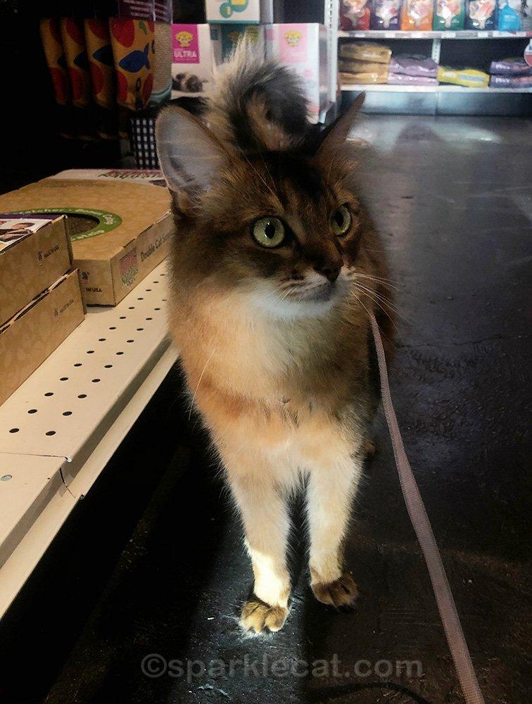 somali cat on a pet shop visit