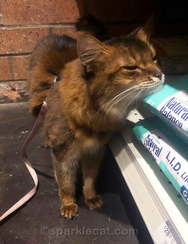 somali cat rubbing on bag of cat food at pet store