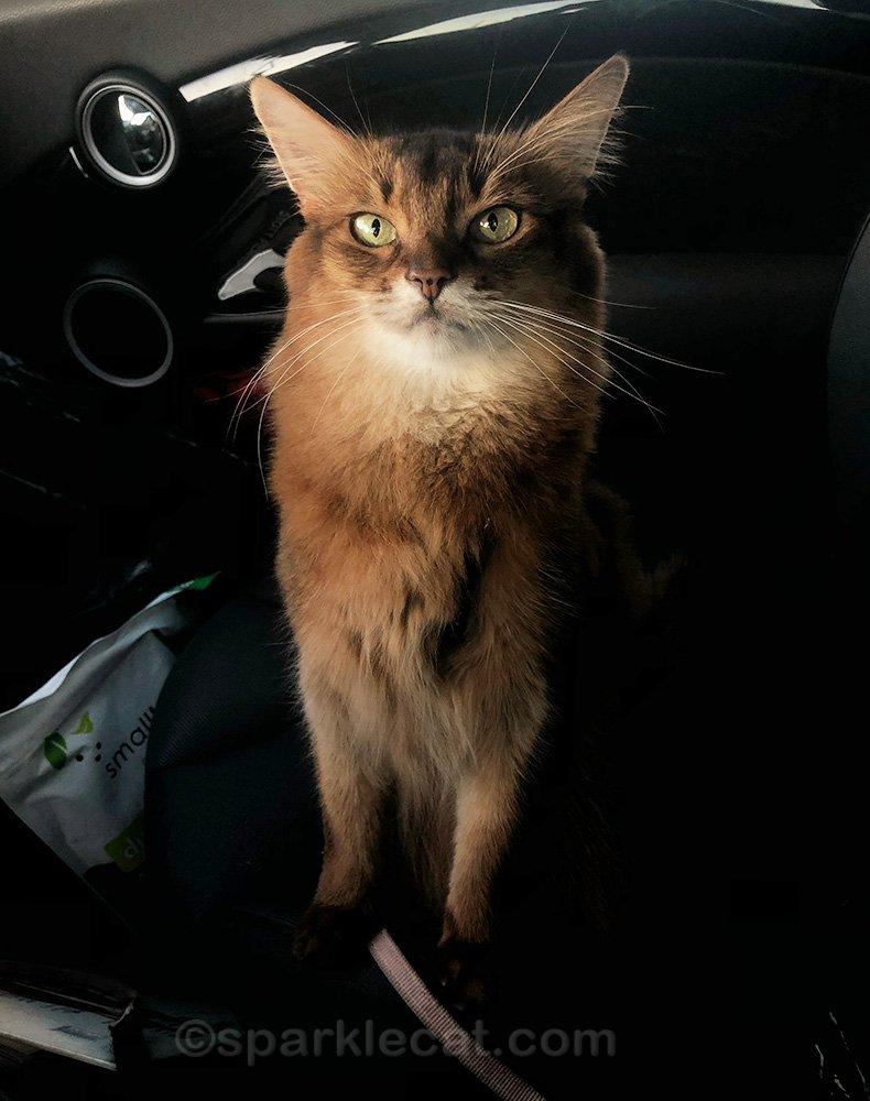 Somali cat in car after pet shop visit