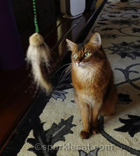 Somali cat with the Foxifur Kittenator toy