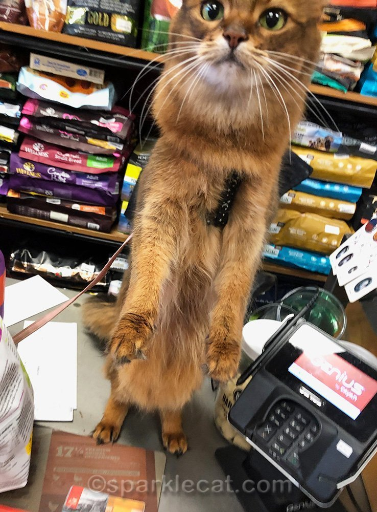 somali cat standing up on pet store counter