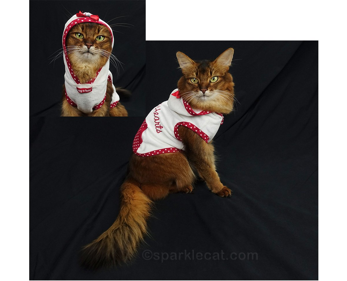 somali cat wearing Queen of Hearts hoodie