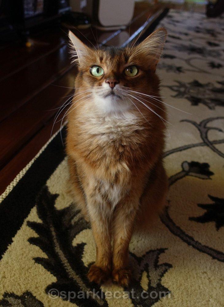 Somali cat looking very impatient