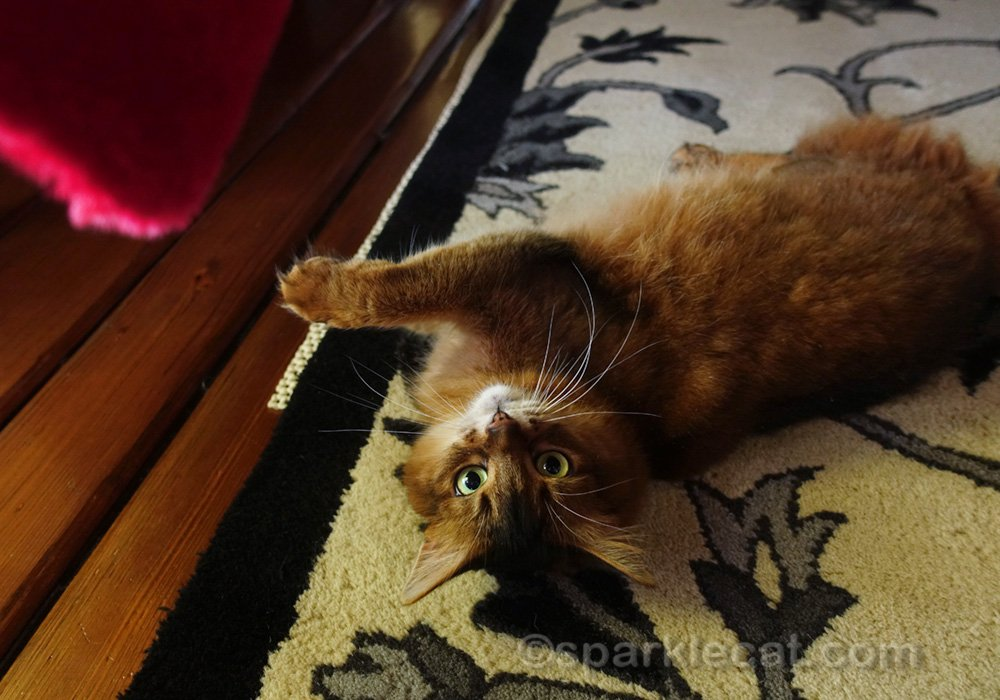 Somali cat waiting to be given catnip heart cat toy