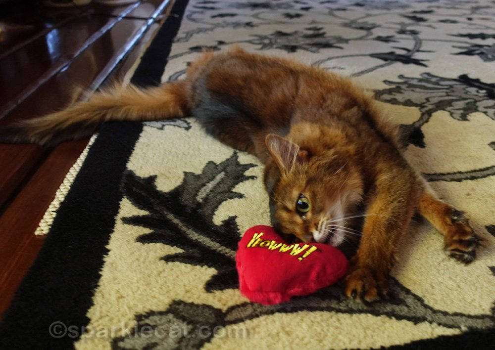 Somali cat playing with catnip heart cat toy