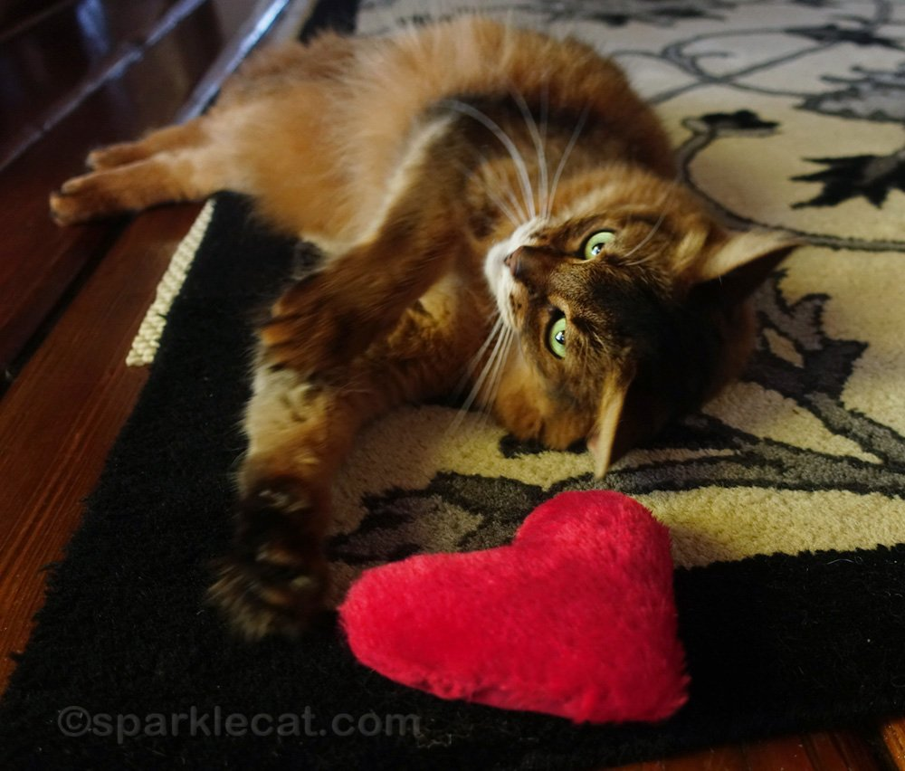 somali cat rolling around catnip heart toy