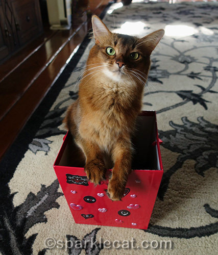 somali cat in Valentine's Day box
