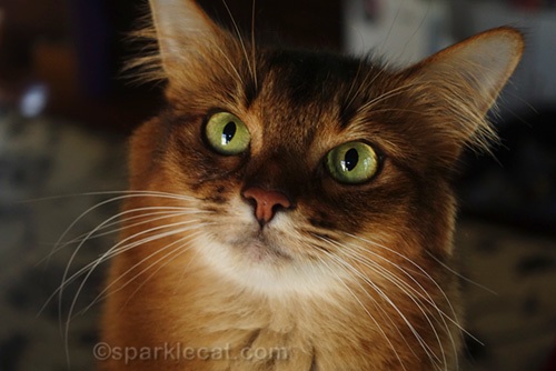 Extreme close up of Somali cat face