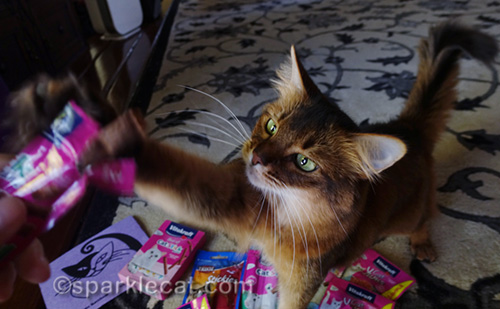 somali cat grabbing for cat treat-candy