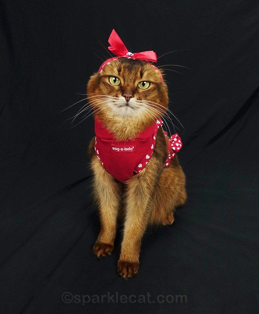somali cat looking like a chipmunk