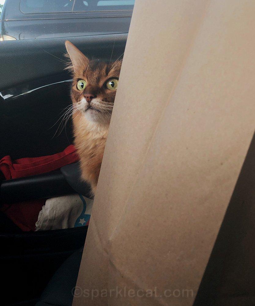 somali cat looking shocked behind shopping bag