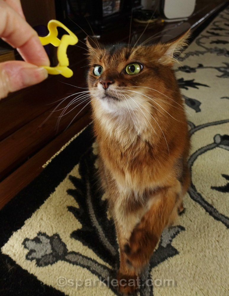 Somali cat annoyed that human isn't throwing her toy