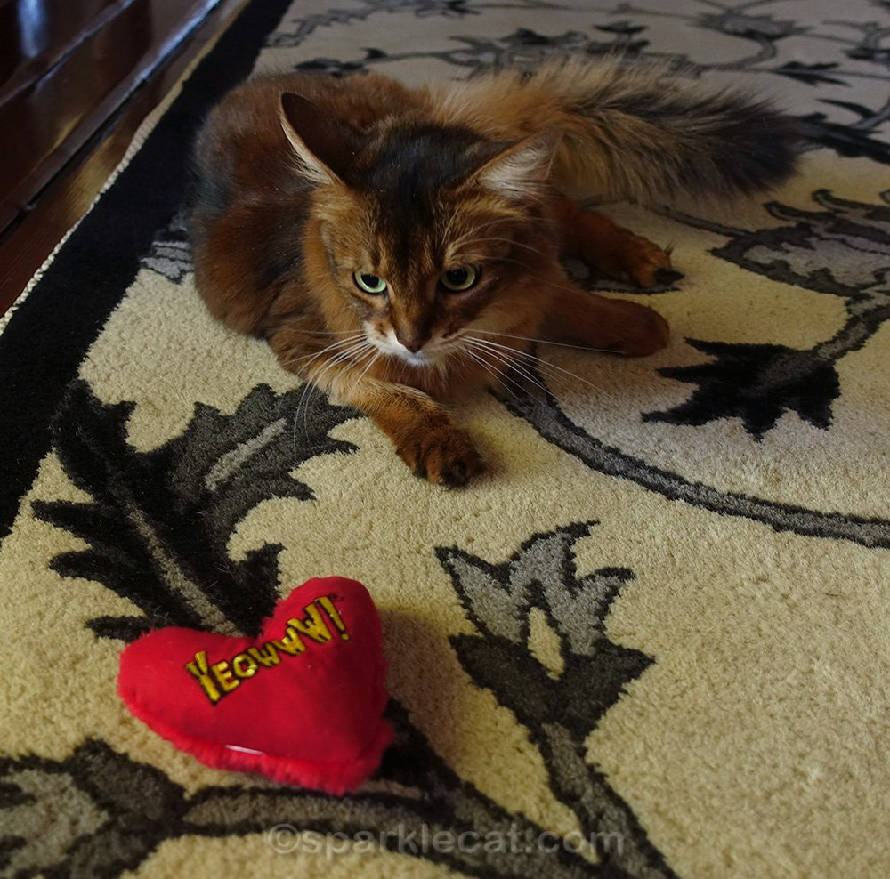 Somali cat giving her catnip heart toy a mean look