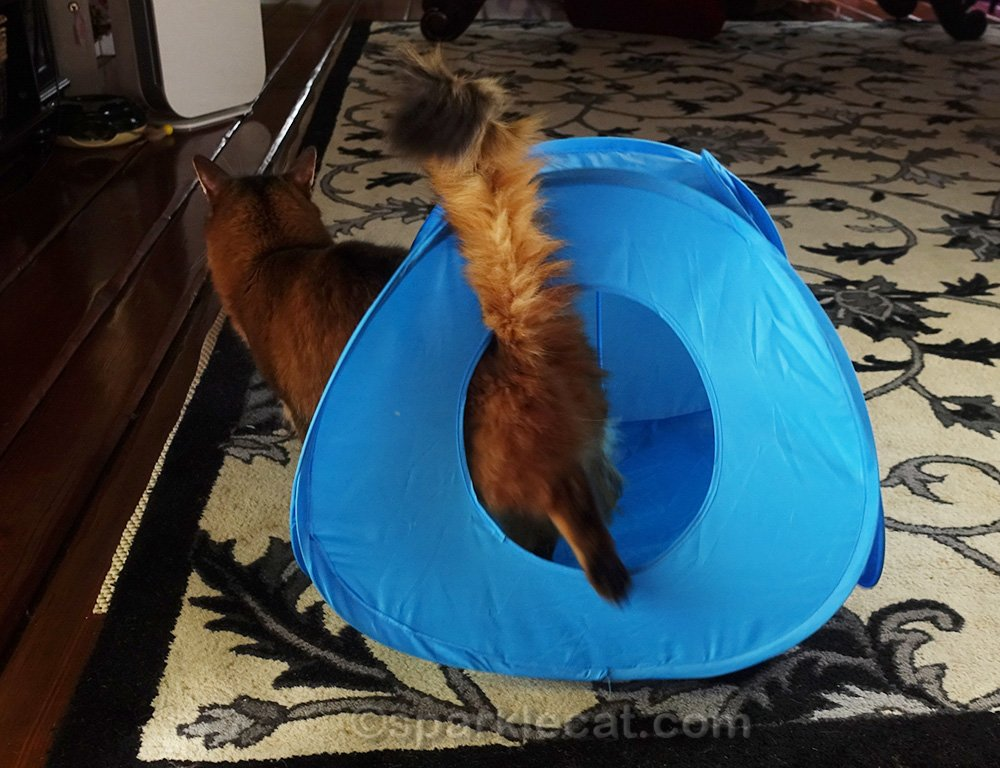 Somali cat walking away from cat cube toy