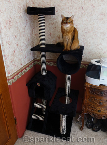 somali cat sitting on new cat tree