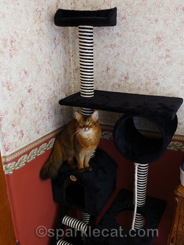 somali cat on house part of cat tree