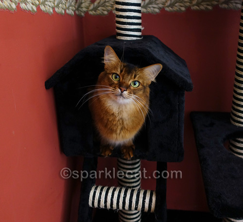 somali cat in house part of cat tree