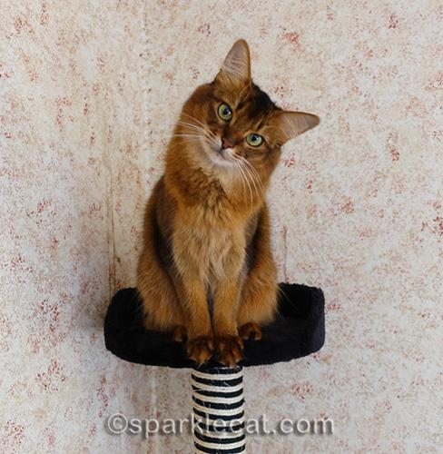 somali cat on top of cat tree, doing a head tilt