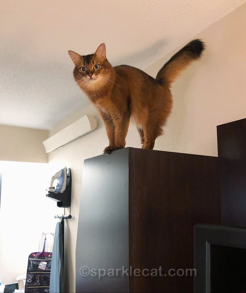 somali cat on top of coat cabinet in hotel room