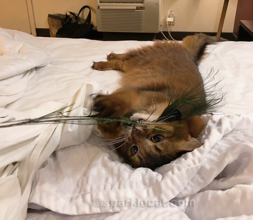 somali cat playing with peacock feather