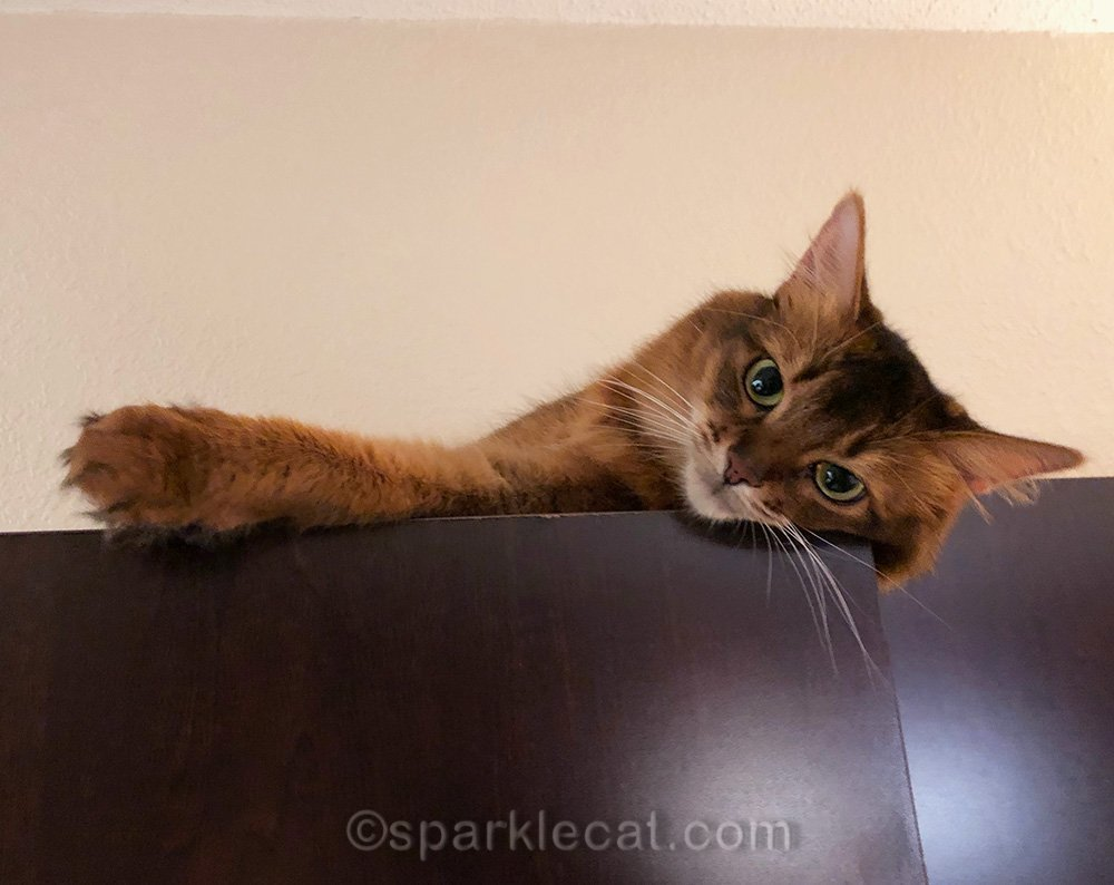 somali cat relaxing on coat cabinet