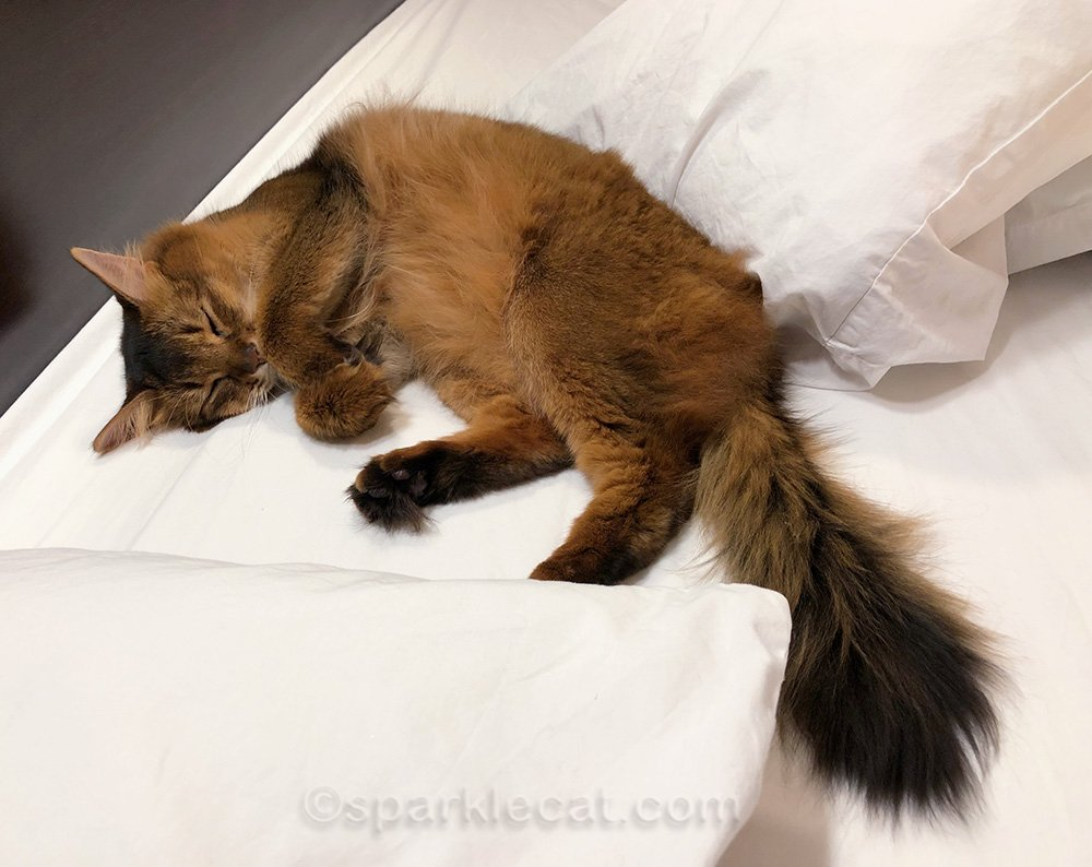 Somali cat on hotel bed, sleeping after a fun day