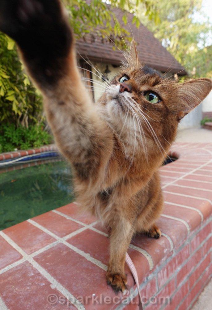 Somali cat reaching for cat treat