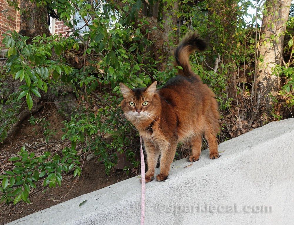 Somali cat on sloping wall