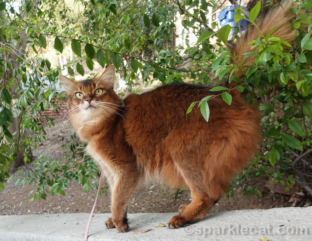 somali cat not happy about the birdie watching spot