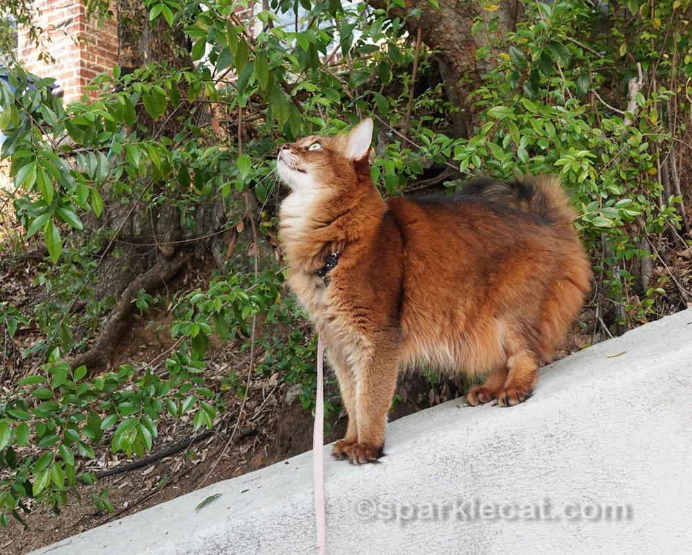 Somali cat watching birdies over her head