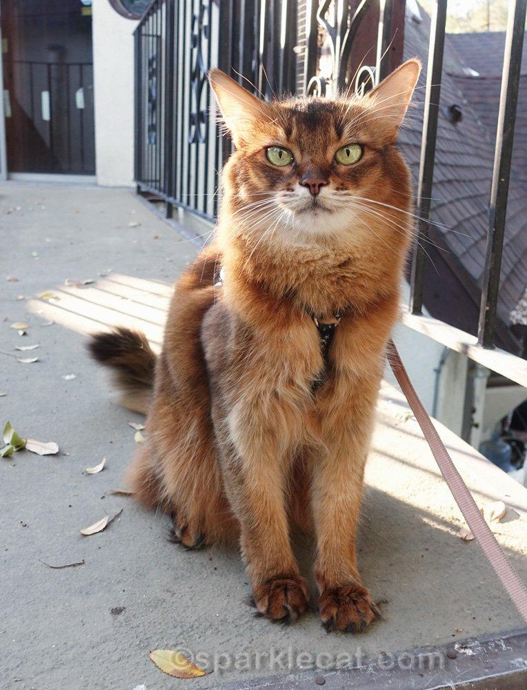 Somali cat posing on bridge
