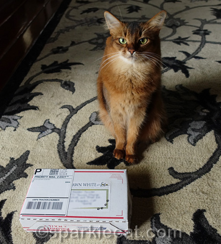 somali cat with package from friends