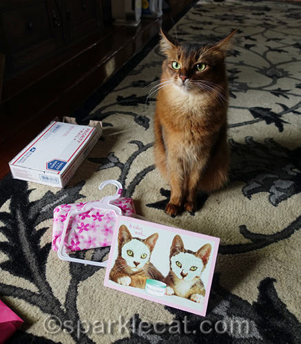 somali cat expresses annoyance