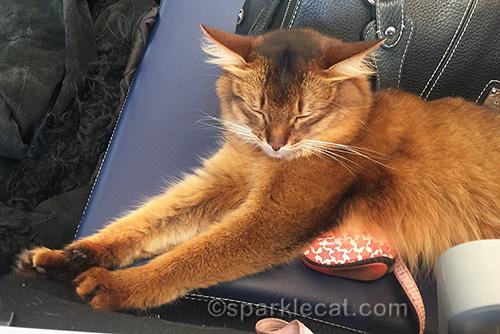 somali cat dozing in airport terminal