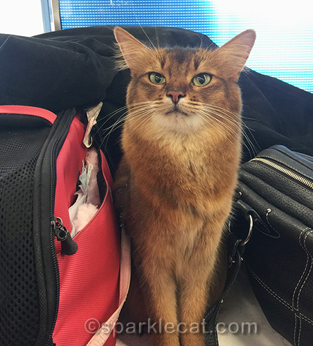 somali cat on counter at airport terminal