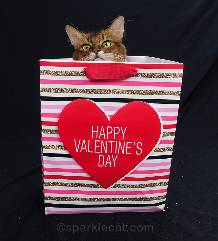 somali cat peeking out of Valentine's Day gift bag