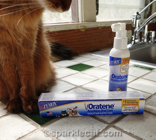 somali cat looking at oratene products