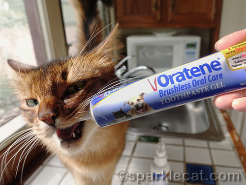 somali cat chewing on Oratene toothpaste gel